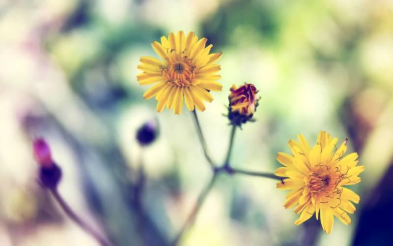 fond cran jolies fleurs jaunes sur tiges fond pastel trois couleurs jaune violet vert fond flou. Black Bedroom Furniture Sets. Home Design Ideas