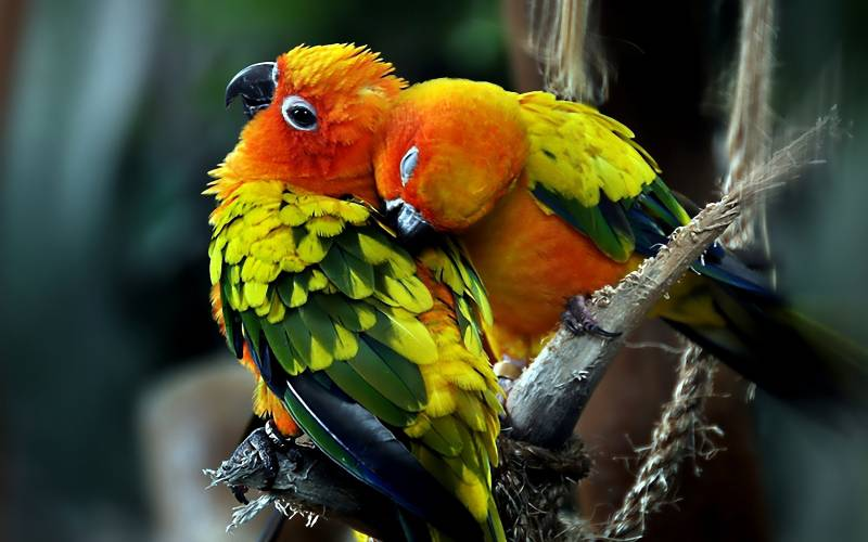 Fond ecran couple perruches tendresse colorees zoom gros plan branches oiseau