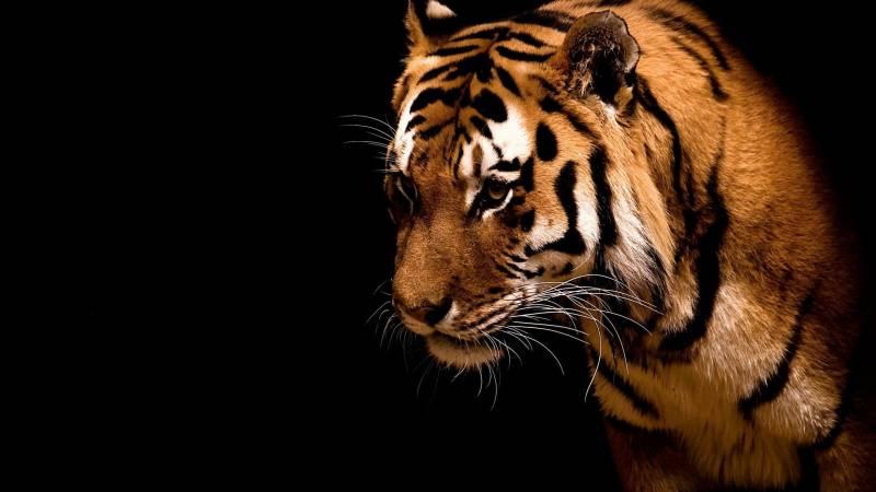 Tete de tigre fond noir couleurs vives joli fond ecran - Image tete de tigre ...