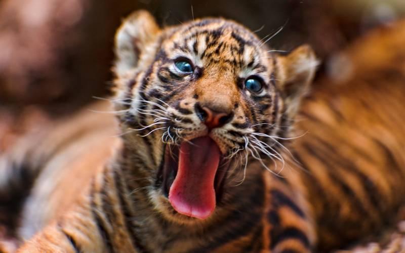 Bebe Tigre Yeux Bleus Tire La Langue Fonds Ecran