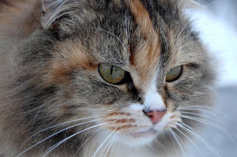 Fond ecran portrait gros plan chat sauvage tricolore poil for Fond ecran portrait