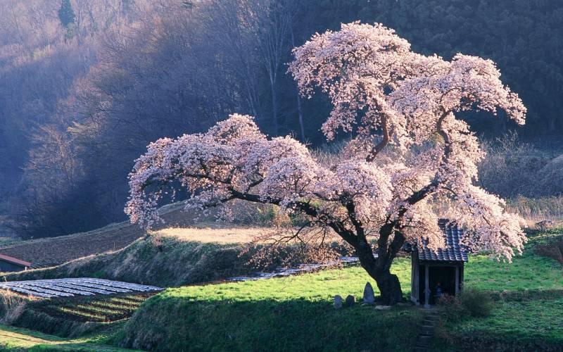 Fond Ecran Coniassier Japon Rose Paysage Asiatique Foret
